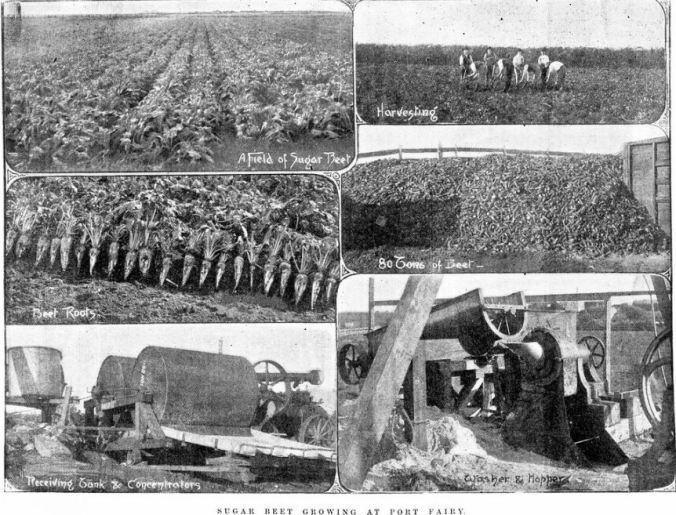 SUGAR BEET GROWING AT PORT FAIRY ON THE FARM OF JOHN GOLDIE c1895. Image Courtesy of the State Library of Victoria. Image No. IAN01/10/95/20 http://handle.slv.vic.gov.au/10381/40232