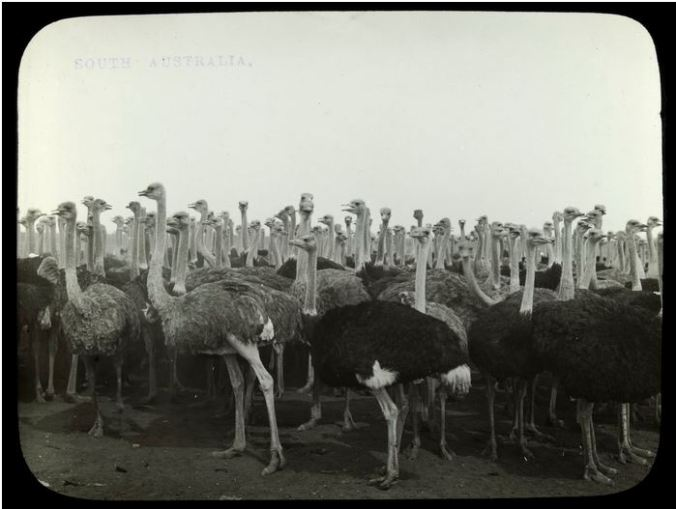 OSTRICH FARM, PORT AUGUSTA, SA.  Image courtesy of the State Library of Victoria.  Image No.  H82.43/140 http://handle.slv.vic.gov.au/10381/57060