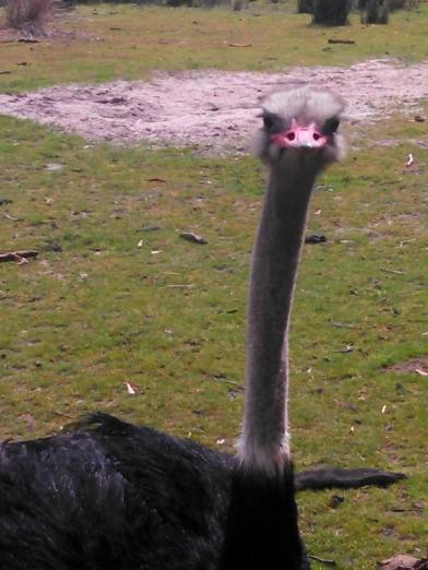 ostrich1 (600x800)
