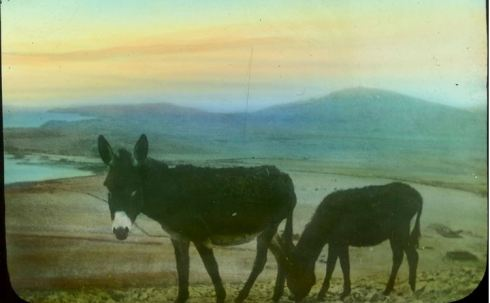 DONKEYS AT GALLIPOLI.  Image courtesy of the State Library of Victoria.  Image no. H83.103/218 http://handle.slv.vic.gov.au/10381/43371