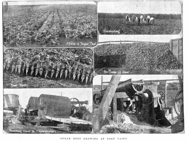 JOHN GOLDIE'S SUGAR BEET CROP TRIALS. Image Courtesy of the State Library of Victoria. Image no. IAN01/10/95/20 http://handle.slv.vic.gov.au/10381/40232