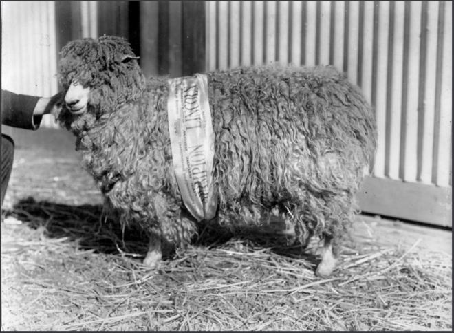 LINCOLN SHEEP. Image courtesy of the State Library of Victoria. Image No. PRG 280/1/17/796 http://collections.slsa.sa.gov.au/resource/PRG+280/1/17/796